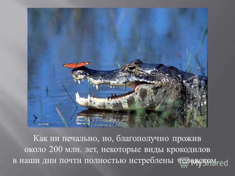 Как ни печально, но, благополучно прожив около 200 млн. лет, некоторые виды крокодилов в наши дни почти полностью истреблены человеком.