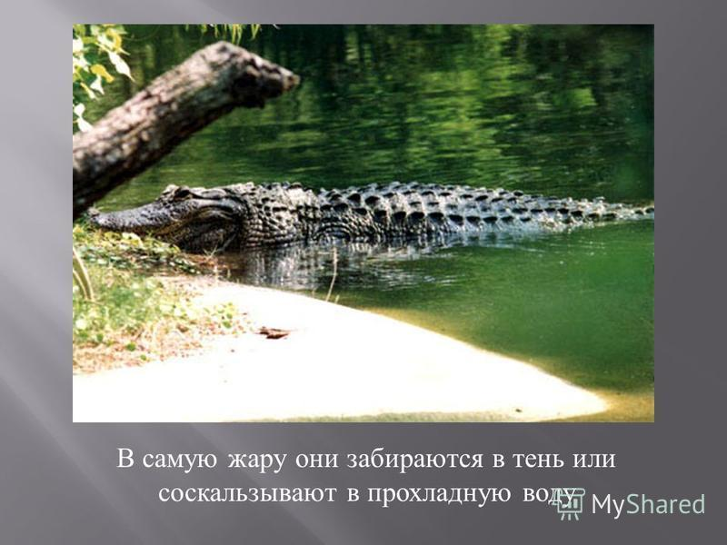 В самую жару они забираются в тень или соскальзывают в прохладную воду