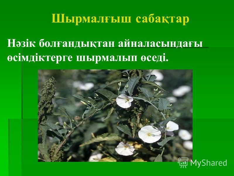 Шырмалғыш сабақтар Нәзік болғандықтан айналасындағы өсімдіктерге шырмалып өседі.