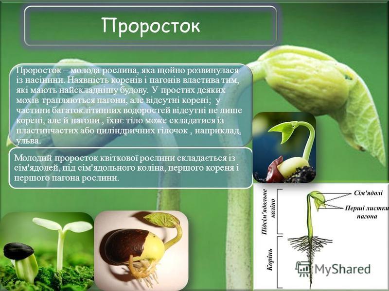 Проросток Проросток – молода рослина, яка щойно розвинулася із насінини. Наявність коренів і пагонів властива тим, які мають найскладнішу будову. У простих деяких мохів трапляються пагони, але відсутні корені; у частини багатоклітинних водоростей від