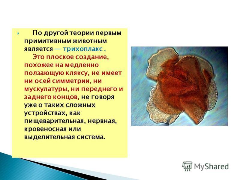 По другой теории первым примитивным животным является трихоплакс. Это плоское создание, похожее на медленно ползающую кляксу, не имеет ни осей симметрии, ни мускулатуры, ни переднего и заднего концов, не говоря уже о таких сложных устройствах, как пи