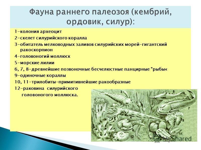 1-колония археоцит 2-скелет силурийского коралла 3-обитатель мелководных заливов силурийских морей-гигантский ракоскорпион 4-головоногий моллюск 5-морские лилии 6, 7, 8-древнейшие позвоночные бесчелюстные панцирные