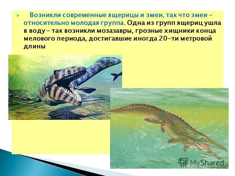 Возникли современные ящерицы и змеи, так что змеи – относительно молодая группа. Одна из групп ящериц ушла в воду – так возникли мозазавры, грозные хищники конца мелового периода, достигавшие иногда 20-ти метровой длины