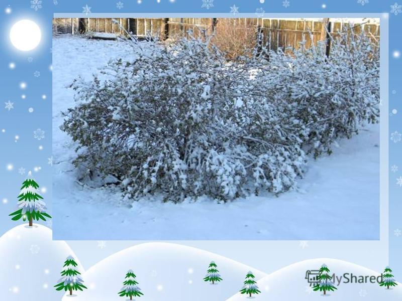 Как растениям пережить зиму? Над травянистыми растениями надо увеличить толщину снегового покрова. В саду, огороде ветки кустарников пригибают к земле, чтобы их укрыл снег. На полях ставят специальные заграждения, чтобы ветер не сметал снег.