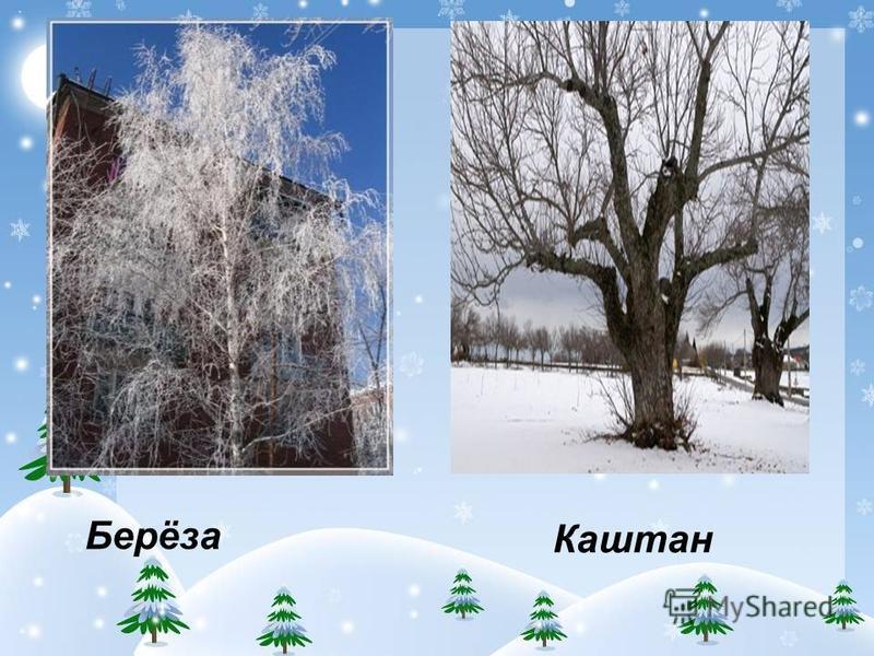 Как узнать деревья зимой? По цвету коры. Расположению ветвей. По плодам и шишкам. По хвое. 1. У ёлки – по одной хвоинке. 2. У сосны – хвоинки парами. 3. У кедра – по пять хвоинок. И шишки у них у всех очень отличаются.