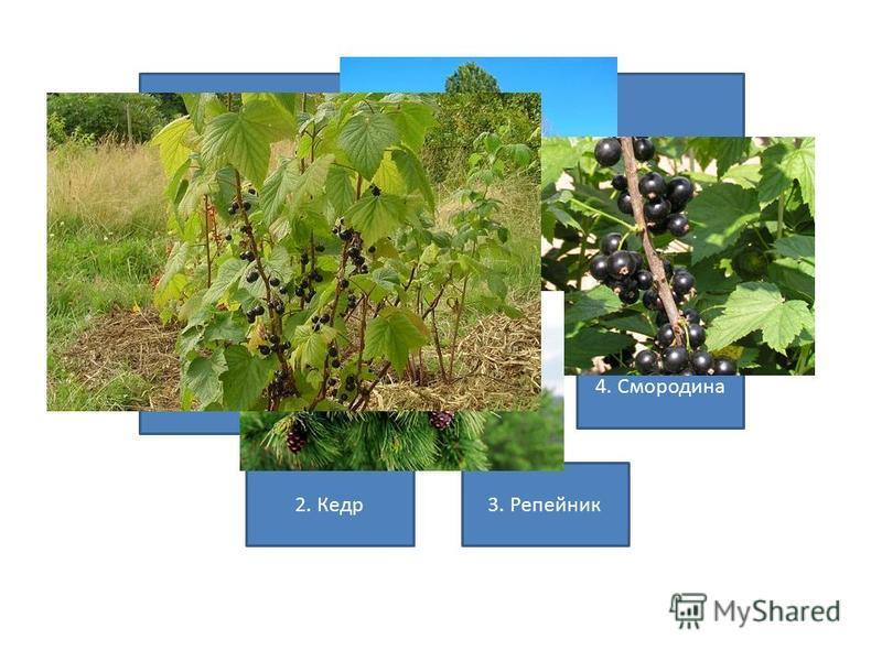 Какое растение является кустарником? 2. Кедр 3. Репейник 1. Клён 4. Смородина