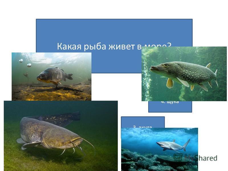 Какая рыба живет в море? 1. карп 2. сом 3. акула 4. щука