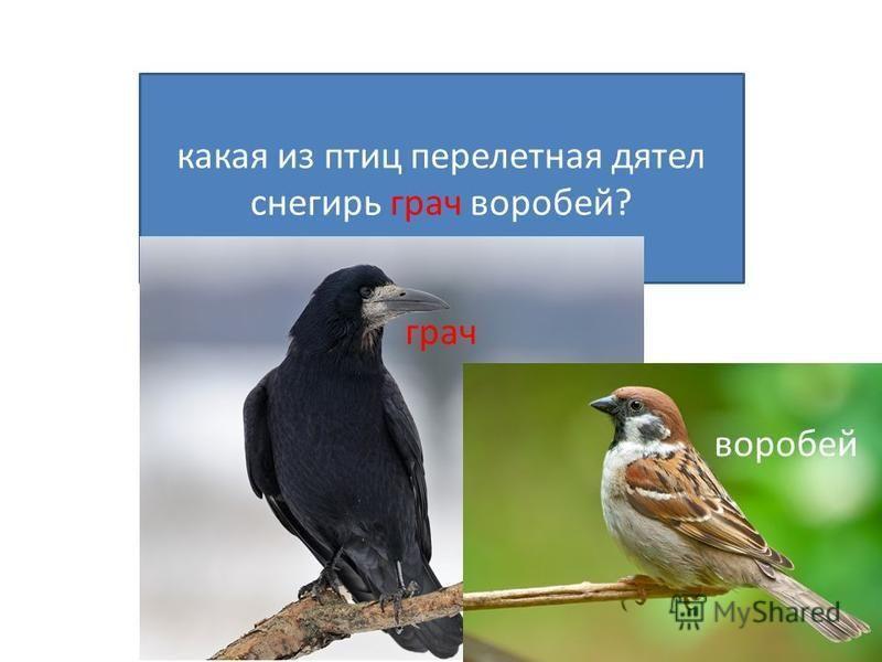 какая из птиц перелетная дятел снегирь грач воробей? грач воробей