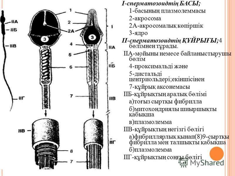 I-сперматозоидтің БАСЫ; 1-басының плазмолеммасы 2-акросома 2А-акросомалық көпіршік 3-ядро II-сперматозоидтің ҚҰЙРЫҒЫ;4 бөлімнен тұрады. IIА-мойыны немсе байланыстырушы бөлім 4-проксимальді және 5-дистальді центриоль дері;екіншісінен 7-құйрық аксонема