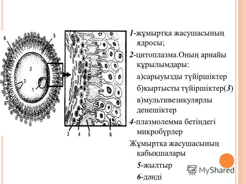 1-жұмыртқа жасушасының ядросы; 2-цитоплазма.Оның арнайы құрылымдары: а)сарыуазды түйіршіктер б)қыртысты түйіршіктер(3) в)мультивезикулярлы денешіктер 4-плазмолемма бетіндегі микробүрлер Жұмыртқа жасушасының қабықшалары 5-жалтыр 6-дәнді