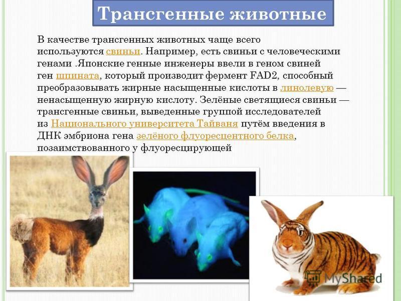 Трансгенные животные В качестве трансгенных животных чаще всего используются свиньи. Например, есть свиньи с человеческими генами.Японские генные инженеры ввели в геном свиней ген шпината, который производит фермент FAD2, способный преобразовывать жи