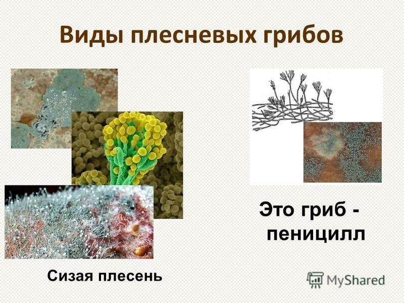 Виды плесневых грибов Сизая плесень Это гриб - пеницилл