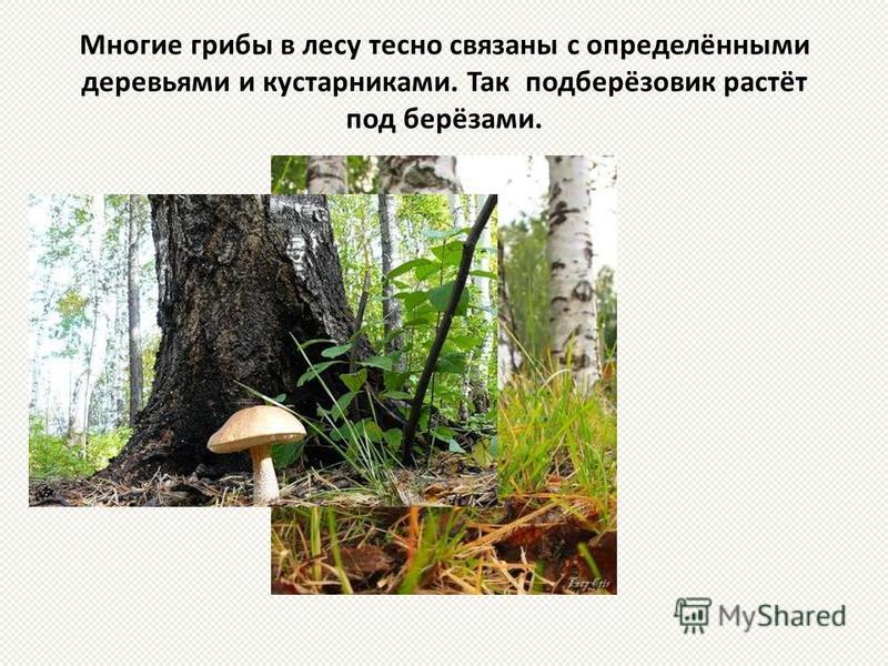 Многие грибы в лесу тесно связаны с определёнными деревьями и кустарниками. Так подберёзовик растёт под берёзами.