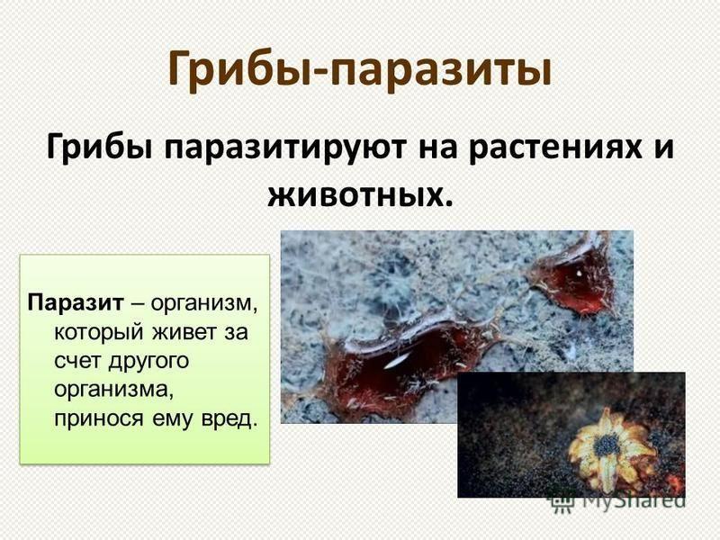Грибы-паразиты Грибы паразитируют на растениях и животных. Паразит – организм, который живет за счет другого организма, принося ему вред.