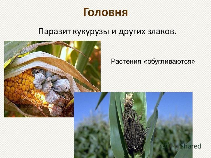 Головня Паразит кукурузы и других злаков. Растения «обугливаются»