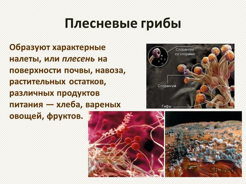 Плесневые грибы Образуют характерные налеты, или плесень на поверхности почвы, навоза, растительных остатков, различных продуктов питания хлеба, вареных овощей, фруктов.