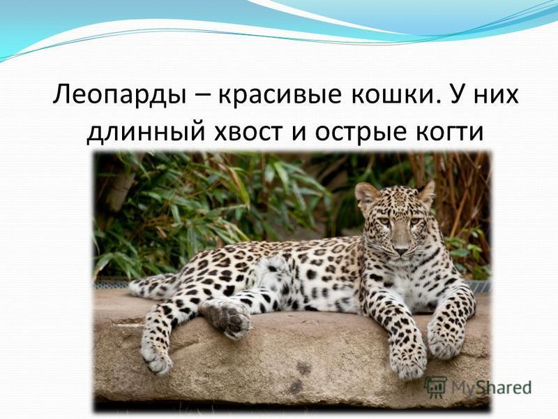Леопарды – красивые кошки. У них длинный хвост и острые когти