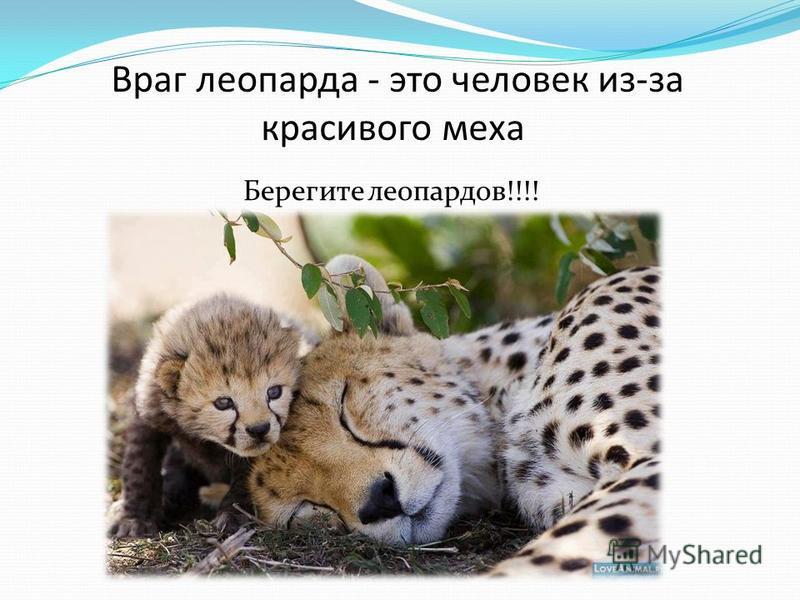 Берегите леопардов!!!! Враг леопарда - это человек из-за красивого меха