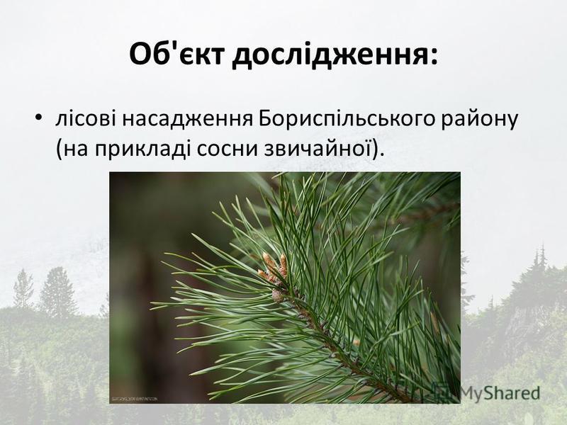 Об'єкт дослідження: лісові насадження Бориспільського району (на прикладі сосни звичайної).