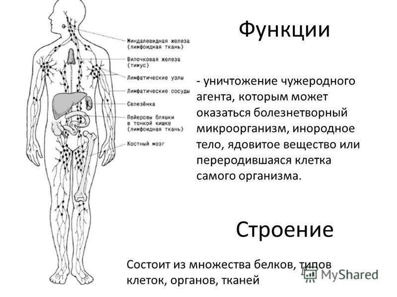 Функции - уничтожение чужеродного агента, которым может оказаться болезнетворный микроорганизм, инородное тело, ядовитое вещество или переродившаяся клетка самого организма. Строение Состоит из множества белков, типов клеток, органов, тканей