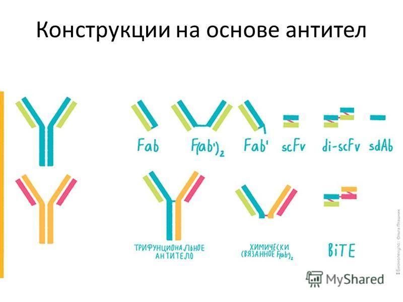 Конструкции на основе антител
