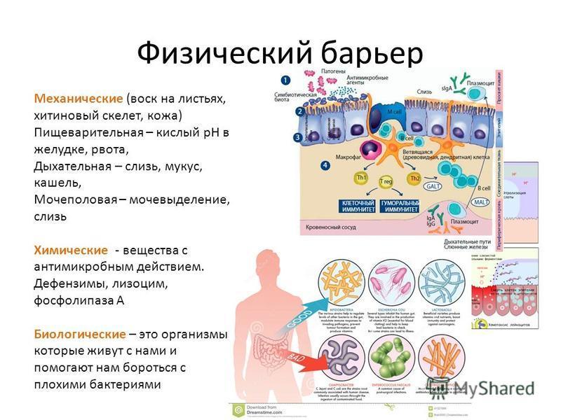 Физический барьер Механические (воск на листьях, хитиновый скелет, кожа) Пищеварительная – кислый рН в желудке, рвота, Дыхательная – слизь, мускус, кашель, Мочеполовая – мочевыделение, слизь Химические - вещества с антимикробным действием. Дефензимы,
