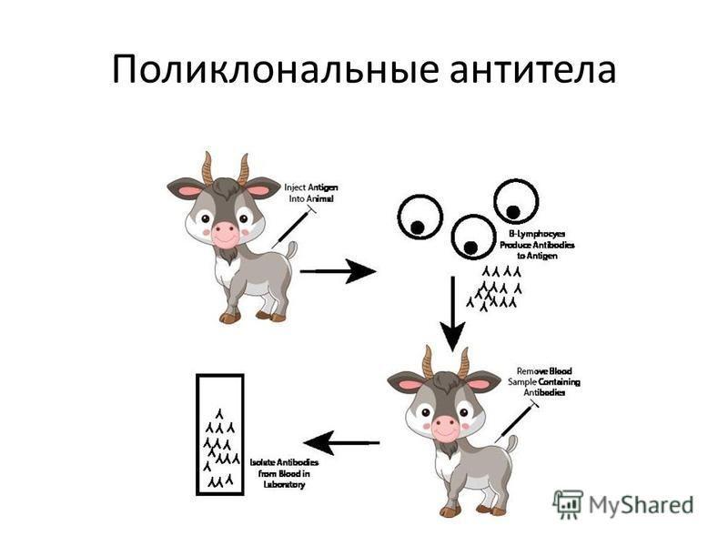 Поликлональные антитела