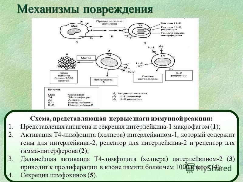 Механизмы повреждения Схема, представляющая первые шаги иммунной реакции: 1. Представления антигена и секреция интерлейкина-1 макрофагом (1); 2. Активация Т4-лимфоцита (хелпера) интерлейкином-1, который содержит гены для интерлейкина-2, рецептор для