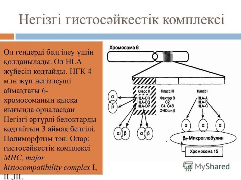 Негізгі гистосәйкестік комплексі Ол гендерді белгілеу үшін қолданылады. Ол HLA жүйесін кодтайды. НГК 4 млн жұп негізлеуші аймақтағы 6- хромосоманың қысқа иығында орналасқан Негізгі әртүрлі белоктарды кодтайтын 3 аймақ белгілі. Полиморфизм тән. Олар: