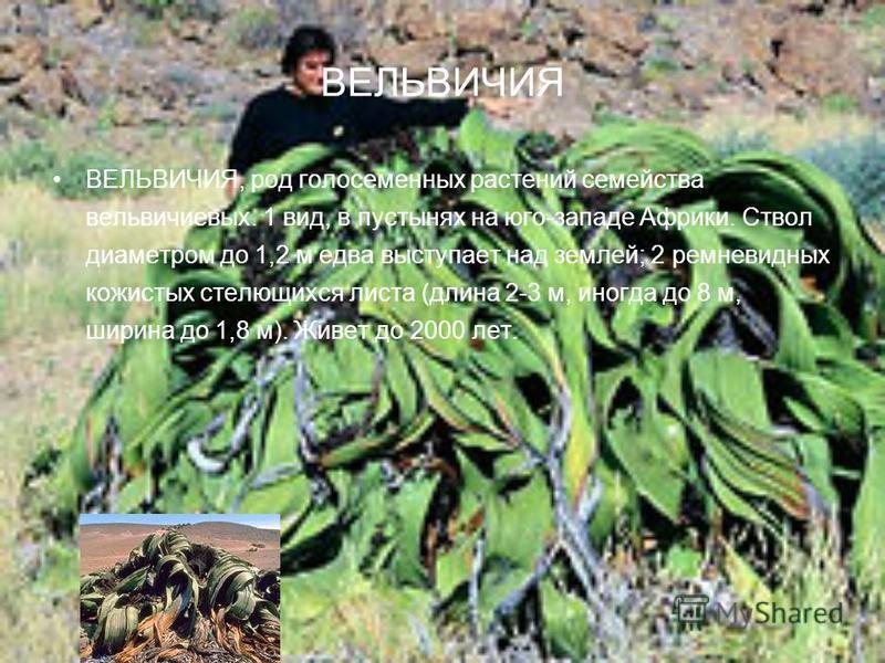 ВЕЛЬВИЧИЯ ВЕЛЬВИЧИЯ, род голосеменных растений семейства вельвичиевых. 1 вид, в пустынях на юго-западе Африки. Ствол диаметром до 1,2 м едва выступает над землей; 2 ремневидных кожистых стелющихся листа (длина 2-3 м, иногда до 8 м, ширина до 1,8 м).