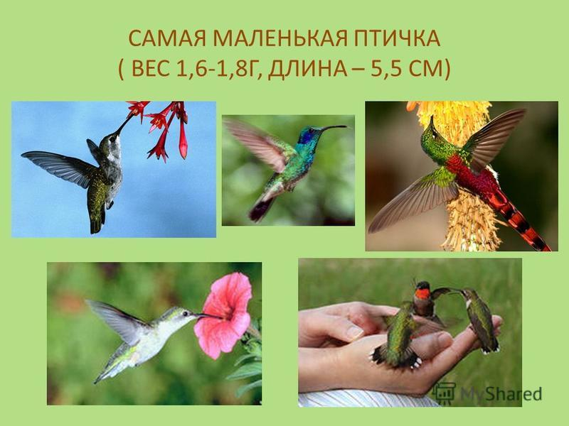 САМАЯ МАЛЕНЬКАЯ ПТИЧКА ( ВЕС 1,6-1,8Г, ДЛИНА – 5,5 СМ)