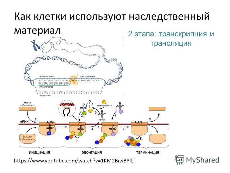 2 этапа: транскрипция и трансляция https://www.youtube.com/watch?v=1KM2BiwBPfU Как клетки используют наследственный материал