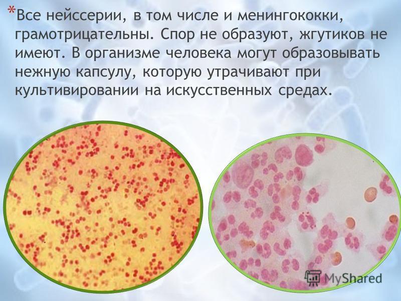 * Все нейссерии, в том числе и менингококки, грамотрицательные. Спор не образуют, жгутиков не имеют. В организме человека могут образовывать нежную капсулу, которую утрачивают при культивировании на искусственных средах.