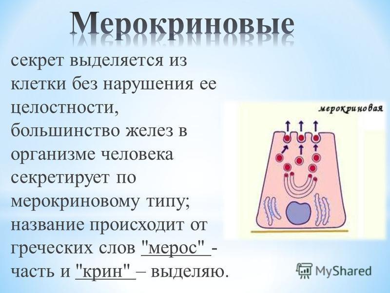 секрет выделяется из клетки без нарушения ее целостности, большинство желез в организме человека секретирует по мерокриновому типу; название происходит от греческих слов мерос - часть и крин – выделяю.