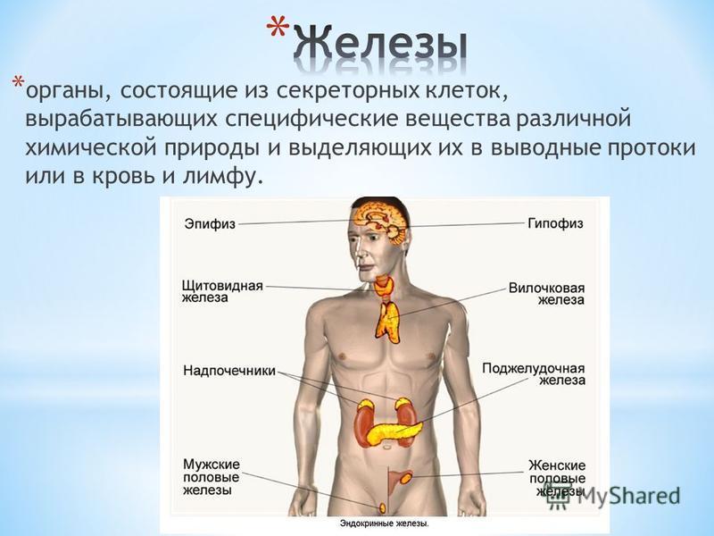 * органы, состоящие из секреторных клеток, вырабатывающих специфические вещества различной химической природы и выделяющих их в выводные протоки или в кровь и лимфу.