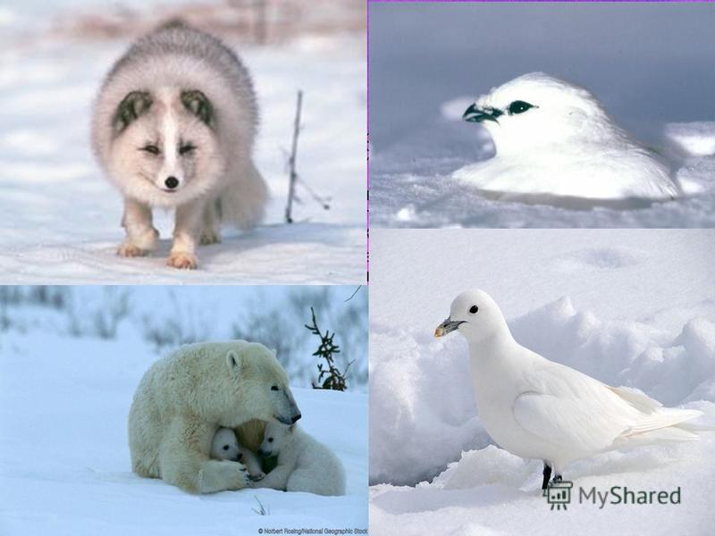 Суровость климата Арктического севера сказывается и на фауне региона, поэтому неудивительно, что животный мир заповедника в видовом отношении небогат. На участках заповедника «Большой Арктический» всесторонне представлена растительность характерная д