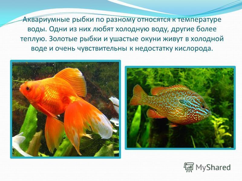 Аквариумные рыбки по разному относятся к температуре воды. Одни из них любят холодную воду, другие более теплую. Золотые рыбки и ушастые окуни живут в холодной воде и очень чувствительны к недостатку кислорода.