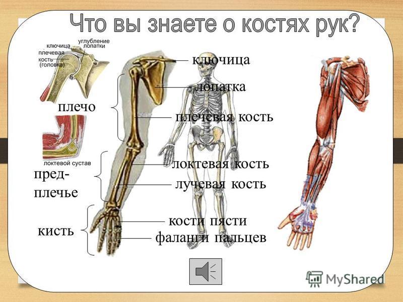 позвоночник рёбра грудная кость грудная клетка