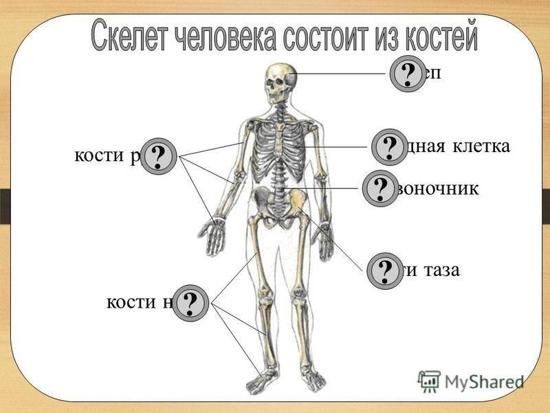 7 Совместное открытие знаний – Давайте познакомимся со строением скелета человека более подробно. (с.17) - Какие части можно выделить в скелете человека? – Из чего состоят эти части?