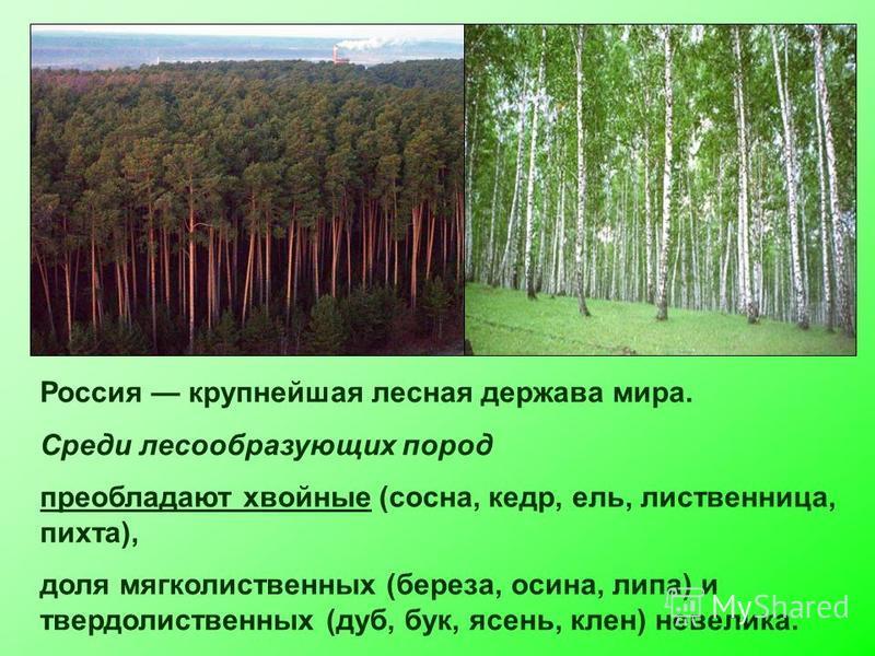Россия крупнейшая лесная держава мира. Среди лесообразующих пород преобладают хвойные (сосна, кедр, ель, лиственница, пихта), доля мягколиственных (береза, осина, липа) и твердолиственных (дуб, бук, ясень, клен) невелика.