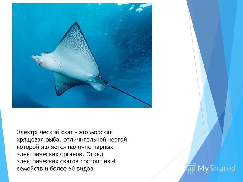 Электрический скат – это морская хрящевая рыба, отличительной чертой которой является наличие парных электрических органов. Отряд электрических скатов состоит из 4 семейств и более 60 видов.