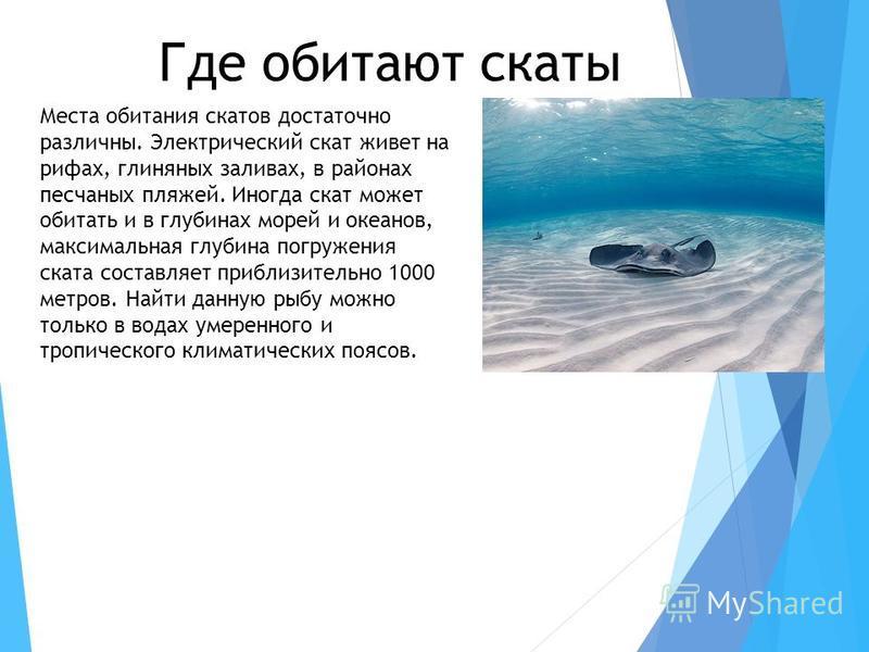 Где обитают скаты Места обитания скатов достаточно различны. Электрический скат живет на рифах, глиняных заливах, в районах песчаных пляжей. Иногда скат может обитать и в глубинах морей и океанов, максимальная глубина погружения ската составляет приб