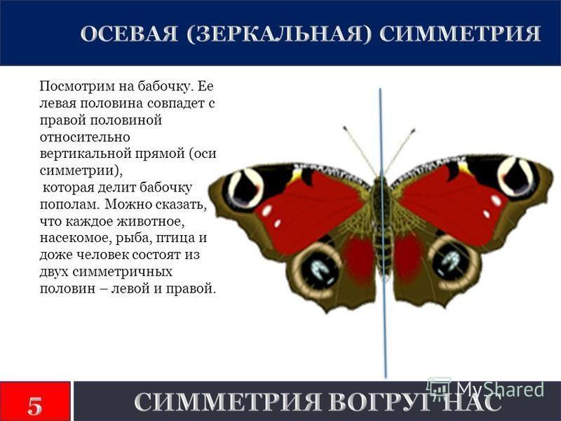 Посмотрим на бабочку. Ее левая половина совпадет с правой половиной относительно вертикальной прямой (оси симметрии), которая делит бабочку пополам. Можно сказать, что каждое животное, насекомое, рыба, птица и доже человек состоят из двух симметричны
