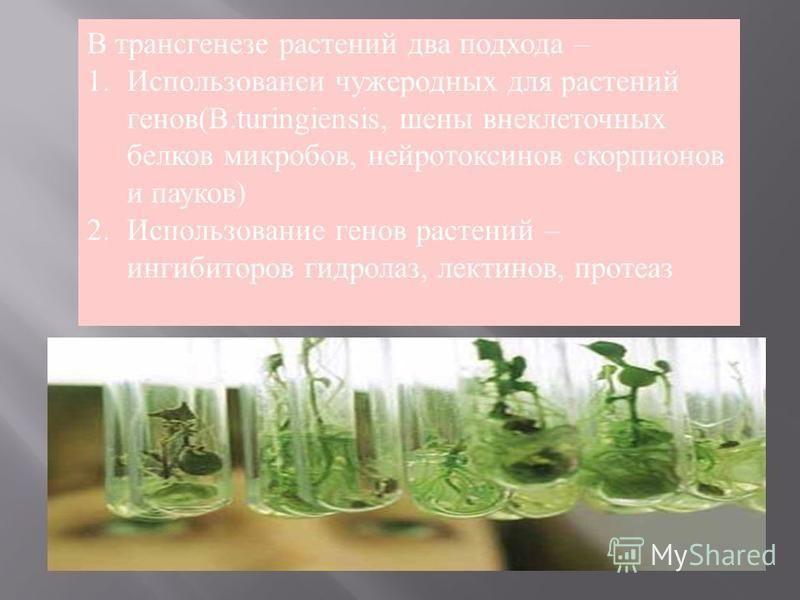 В трансгенезе растений два подхода – 1. Использованеи чужеродных для растений генов(B.turingiensis, шины внеклеточных белков микробов, нейротоксинов скорпионов и пауков) 2. Использование генов растений – ингибиторов гидролаз, лектинов, протеаз