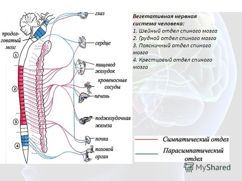 Вегетативная нервная система человека: 1. Шейный отдел спинного мозга 2. Грудной отдел спинного мозга 3. Поясничный отдел спинного мозга 4. Крестцовый отдел спинного мозга Вегетативная нервная система человека: 1. Шейный отдел спинного мозга 2. Грудн