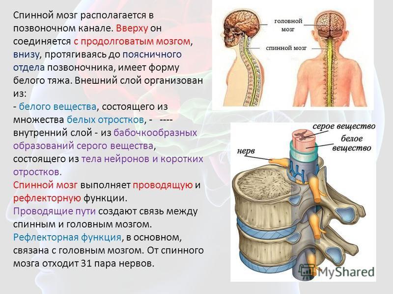 Спинной мозг располагается в позвоночном канале. Вверху он соединяется с продолговатым мозгом, внизу, протягиваясь до поясничного отдела позвоночника, имеет форму белого тяжа. Внешний слой организован из: - белого вещества, состоящего из множества бе