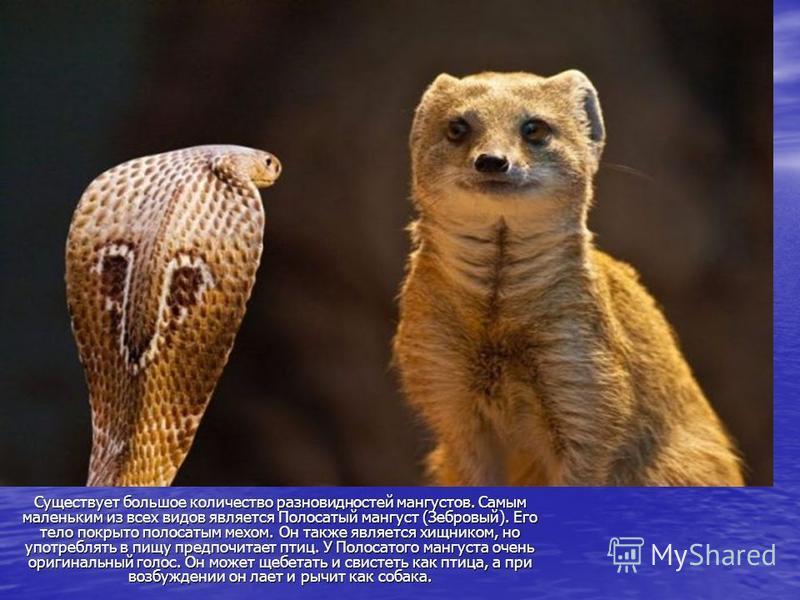 Существует большое количество разновидностей мангустов. Самым маленьким из всех видов является Полосатый мангуст (Зебровый). Его тело покрыто полосатым мехом. Он также является хищником, но употреблять в пищу предпочитает птиц. У Полосатого мангуста