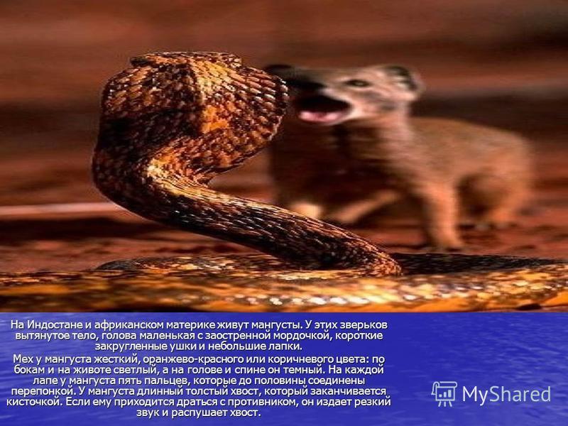 На Индостане и африканском материке живут мангусты. У этих зверьков вытянутое тело, голова маленькая с заостренной мордочкой, короткие закругленные ушки и небольшие лапки. Мех у мангуста жесткий, оранжево-красного или коричневого цвета: по бокам и на
