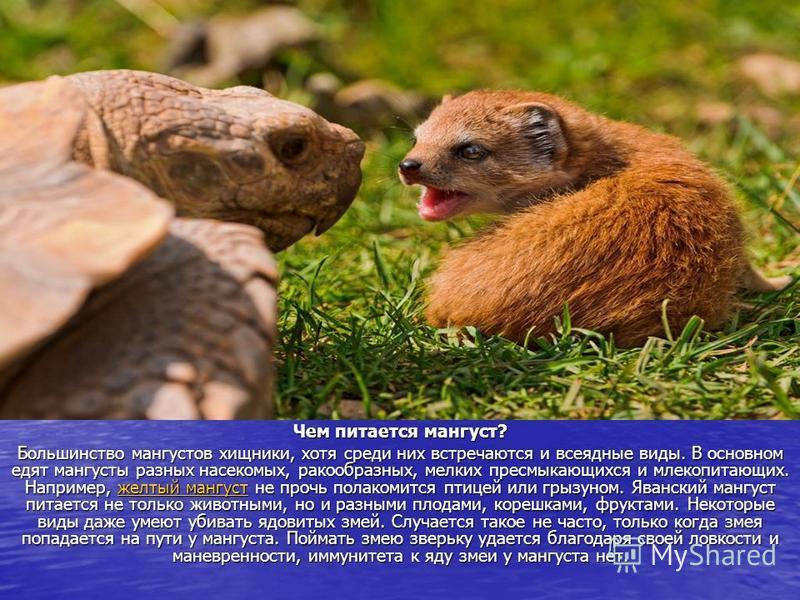 Чем питается мангуст? Большинство мангустов хищники, хотя среди них встречаются и всеядные виды. В основном едят мангусты разных насекомых, ракообразных, мелких пресмыкающихся и млекопитающих. Например, желтый мангуст не прочь полакомится птицей или