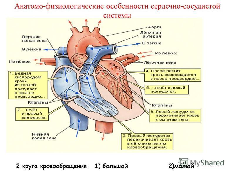 Анатомо-физиологические особенности сердечно-сосудистой системы 2 круга кровообращения: 1) большой 2)малый